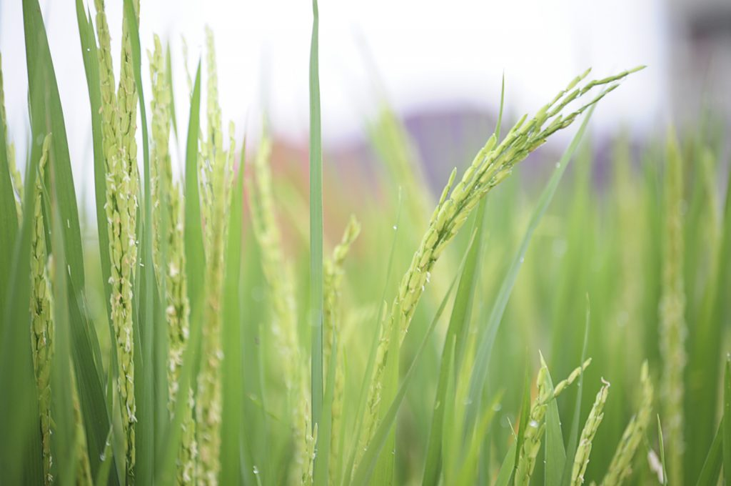 BRIA contributes to sustainable rice production in Southeast Asia with the SRP standard