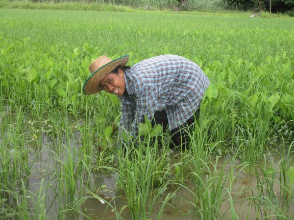 Completing the Better Rice Initiative Asia or BRIA