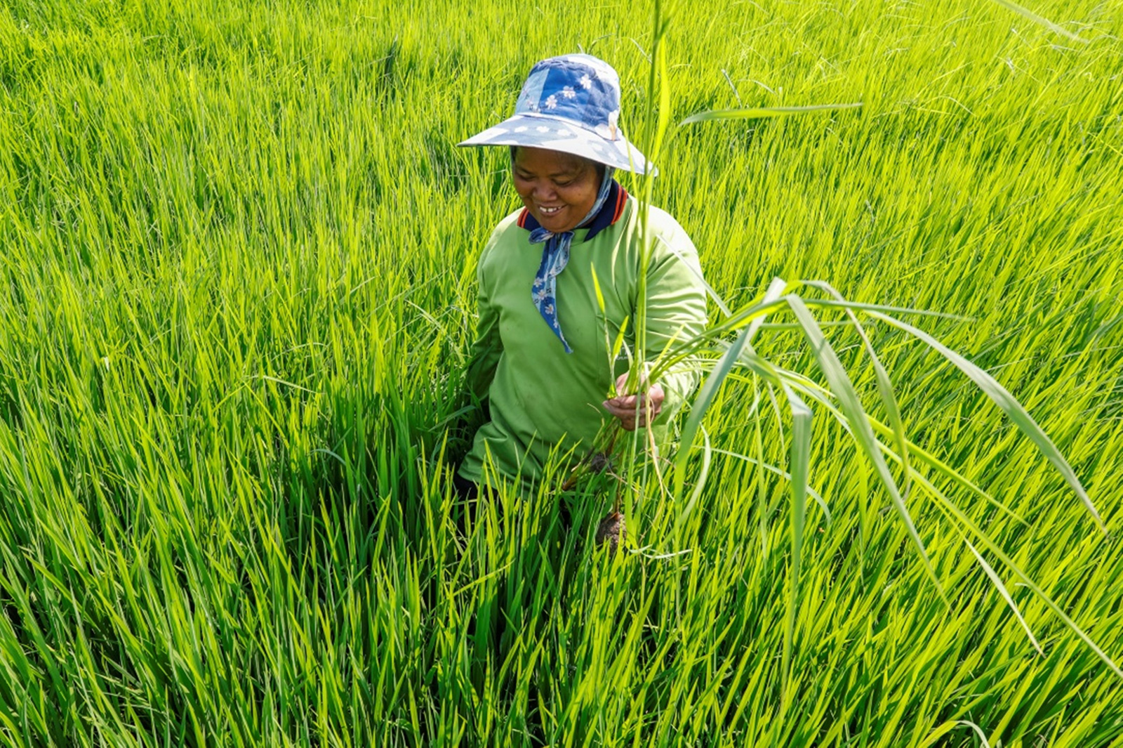 Regenerative Rice Farming in Thailand