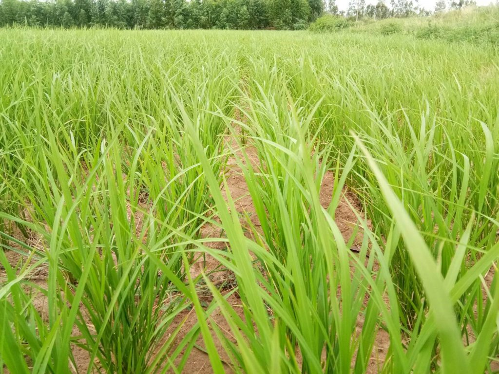 Field in Roi Ei province is doing well despite the decrease in water and fertiliser.